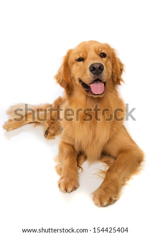 A golden retriever dog laying down