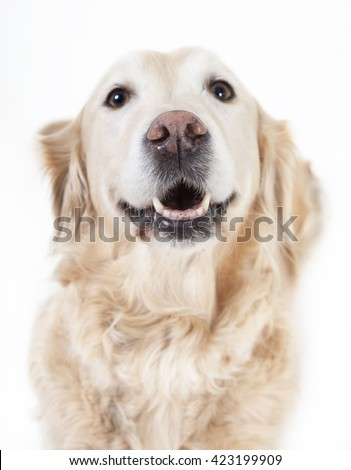 a golden retriever dog looking with open mouth at the camera, background white, optional
