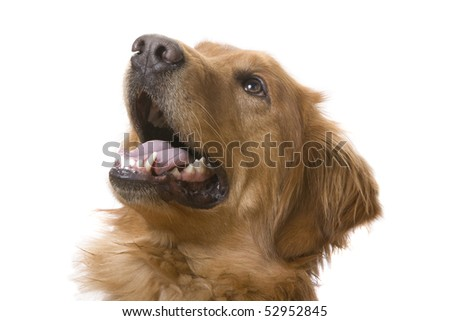 a Golden Retriever dog on a white background