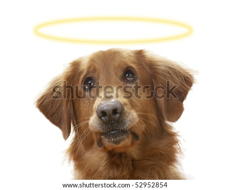 a Golden Retriever dog on a white background, wearing a halo - stock photo
