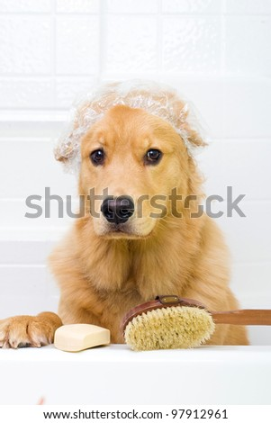 A golden retriever dog preparing for a bath.  He has an unhappy expression on his face and is wearing a shower cap with a bar of soap and a scrub brush ready to go.