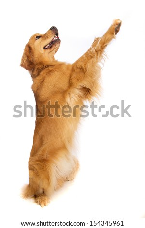 A golden retriever dog standing on his hind legs - stock photo
