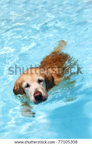 A golden retriever dog swimming in clear blue waters, front facing. - stock photo