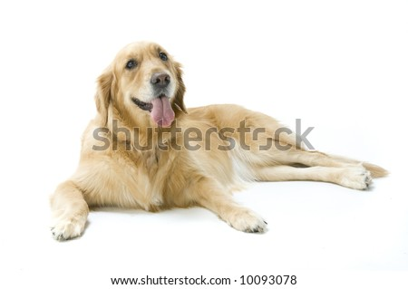 A golden retriever in the studio - stock photo