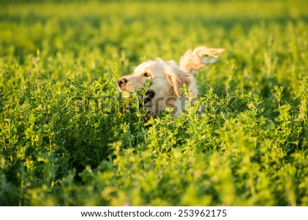 A Golden Retriever is deep in the farmland fields, with a tennis ball in her mouth, which she went to retrieve. - stock photo