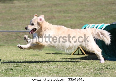A Golden Retriever leaps from an Agility tunnel - stock photo