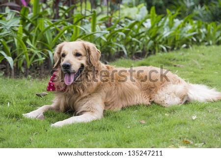 A golden retriever lying on the grass