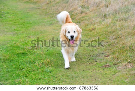 A Golden Retriever on a meadow path