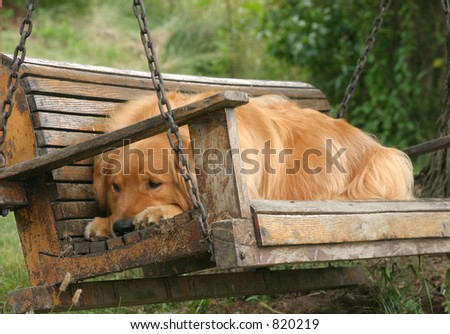 A Golden Retriever rests on a swing under an oak tree during the dog days of summer. - stock photo