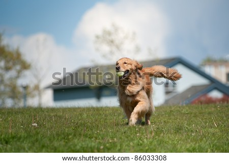 A golden retriever runs in a green grass field carrying a tennis ball in his mouth. Residential homes are out of focus in the background as is a cloudy sky. The moves towards the left of the frame. - stock photo