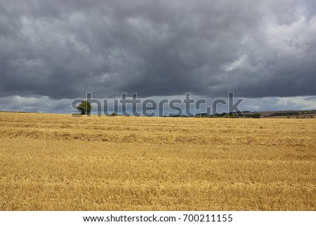 a golden straw stubble field with a lone tree on the horizon under a summer stormy sky in the yorkshire wolds