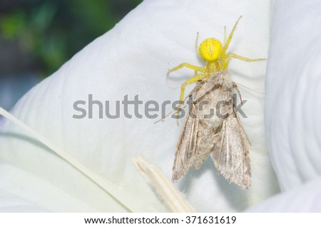 A goldenrod crab spider with it's prey (moth) in a datura flower.