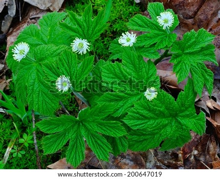 A Goldenseal plant on the forest floor (Hydrastis Canadensis) - stock photo