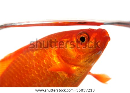 a goldfish gasping for breath - stock photo