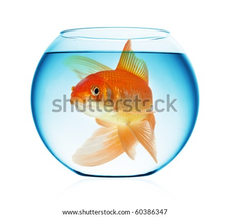 A goldfish in the water isolated on white - stock photo