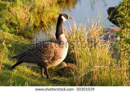 A goose family rests in the grass near a pond. The goslings are sleeping.