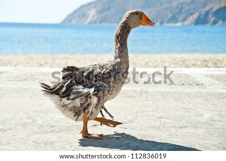 A goose in the beach