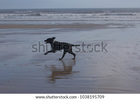 A Gordon Setter dog running across a sandy beach at low tide.
