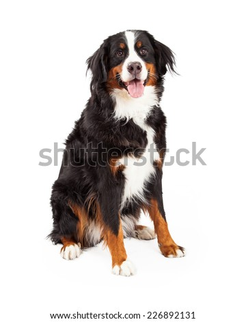 A gorgeous Bernese Mountain Dog sitting while looking forward.  - stock photo