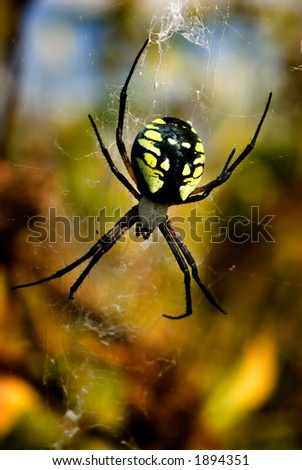 A gorgeous Black and Yellow Argiope garden spider sits in her web. - stock photo