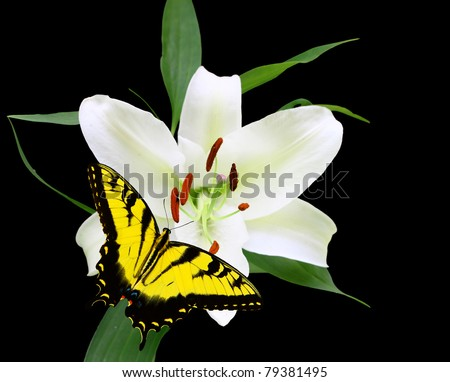 A Gorgeous Christmas Lily (Lilium longiflorum) isolated on black with a swallowtail Butterfly with room for your text using a shallow depth of field and selective focus on the stamen,stigma and style. - stock photo