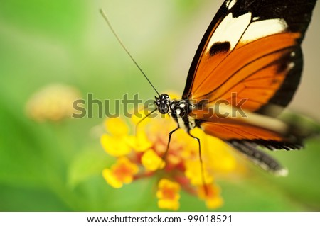 A gorgeous Tiger Longwing Butterfly (Heliconi Hecale) sitting on a yellow flower. - stock photo
