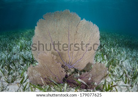 A gorgonians grows on a shallow seagrass bed on Turneffe Atoll in Belize. This habitat is part of the second largest barrier reef in the world and harbors a wide diversity of marine life. - stock photo