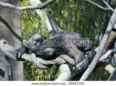 A Gorilla hanging out in a tree, playing with some dry grass. - stock photo