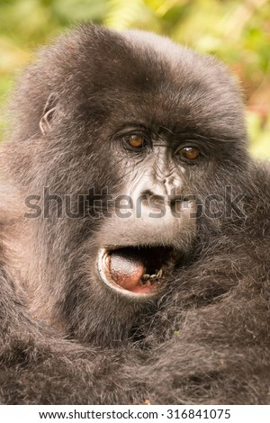 A gorilla in the forest of the Parc National des Volcans in Rwanda yawns, showing its tongue and a few teeth. Behind the head of the gorilla are the blurred sunlit leaves of trees and undergrowth.