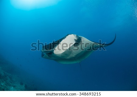 A graceful manta ray hovering in clear blue water - stock photo