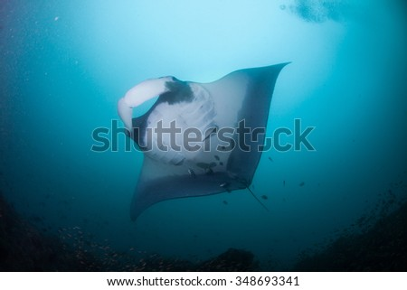 A graceful manta ray swimming calmly overhead - stock photo