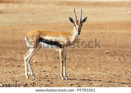 A graceful  Thomson Gazelle beautiful posing for a photograph - stock photo