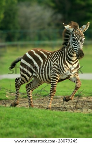 A Grant's Zebra (Equus burchelli bohmi) foal running. - stock photo