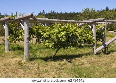 A grapevine growing healthily is centered in the middle of a wood trellis on an organic farm in Washington State. - stock photo