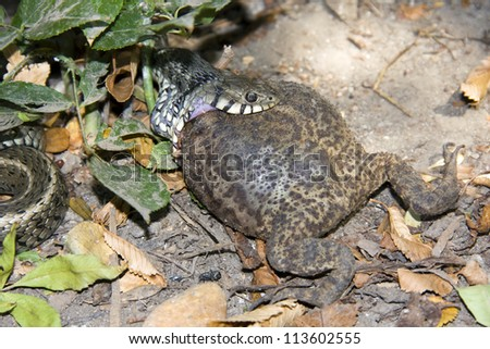A grass snake (Natrix natrix) try to eat a too big toad - stock photo