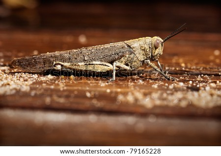A grasshopper resting in a wet wood floor - stock photo