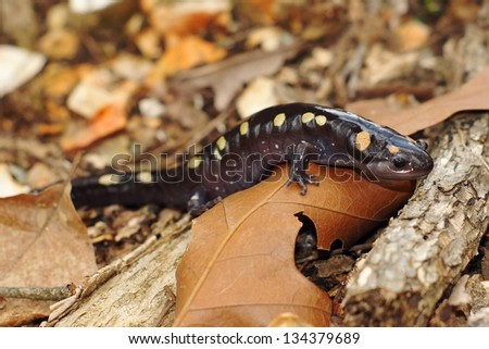 A gravid or pregnant Spotted Salamander, Ambystoma maculatum, crawling towards a pond in its spring breeding season