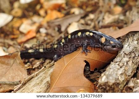 A gravid or pregnant Spotted Salamander, Ambystoma maculatum, crawling towards a pond in its spring breeding season - stock photo
