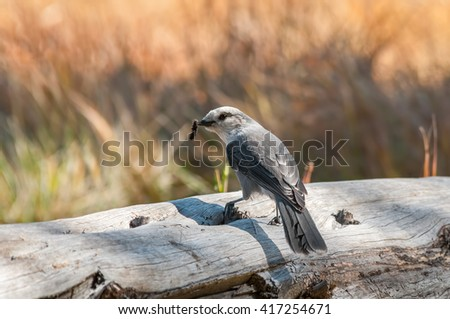 A gray jay having lunch on a rustic log. - stock photo