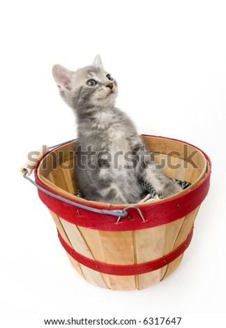 A gray kitten leans back and looks up in a produce basket on white background