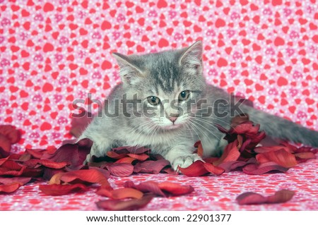 A gray kitten plays in a pile of red rose petals on a heart patterned background designed for valentines day
