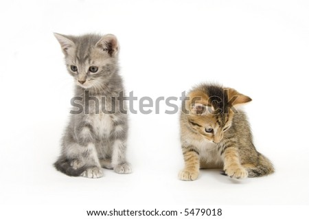 A gray kitten sits on a white background while a tabby kitty plays