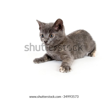 A gray kitten sitting and resting on white background