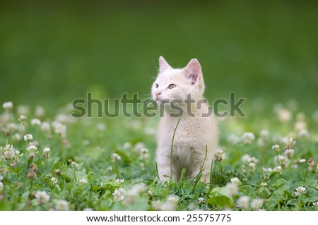A gray kitten standing in the green grass with white flowers