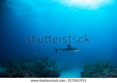 A gray reef shark swimming through shark junction - stock photo