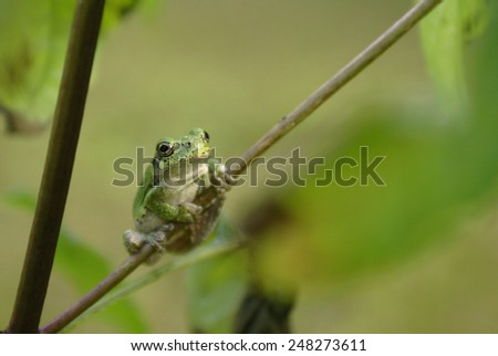 A gray tree frog found in the eastern forests of North America. - stock photo