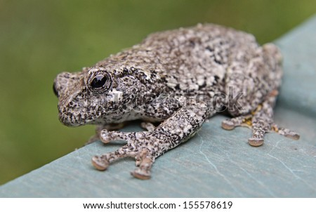 A Gray Tree Frog (Hyla versicolor) sitting on lawn furniture.  Shot in Kitchener, Ontario, Canada.