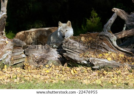 A gray wolf hidding in a tree in a natural preserve. - stock photo