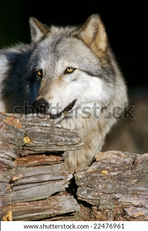 A gray wolf hiding in a tree in a natural preserve. - stock photo