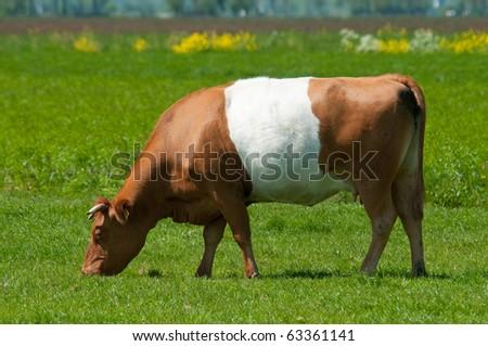 a grazing brown lakenvelder cow - stock photo